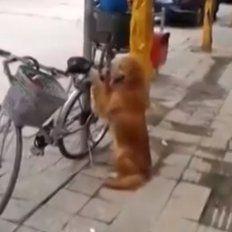 Un perro guardián que cuida la bicicleta de su dueño