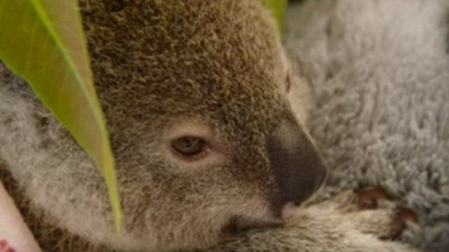 Este koala se aferra a un peluche luego de la muerte de su mamá