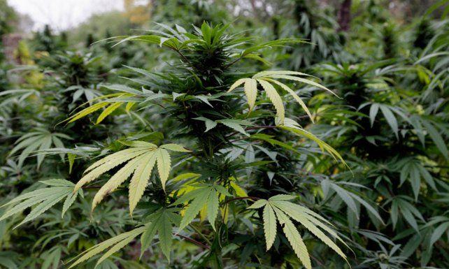Iniciativa. Santa Fe debate uso de aceite de cannabis