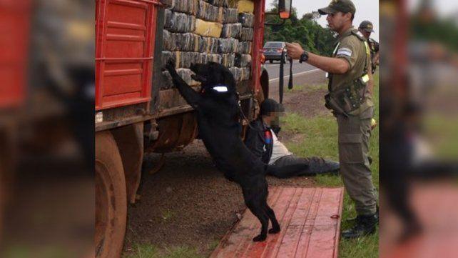 Perro adiestrado permitió incautar más de 6000 kilos marihuana en ruta 12