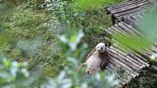 El panda más triste del mundo: lo discriminan por ser marrón y le comen el bambú