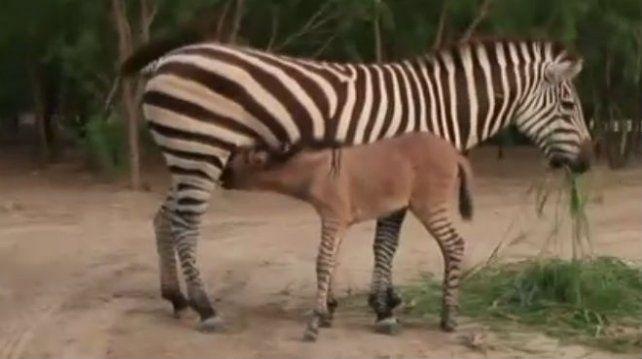 Infidelidad en el zoológico: nació un híbrido mitad cebra y mitad burro