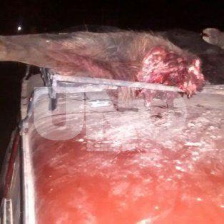 Depredación. Un cuarto de jabalí trasero y otro jabalí al lado, ambos sobre el techo del auto; adentro encontraron uno vivo.