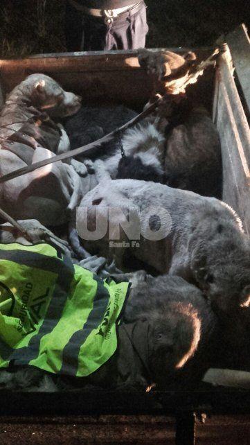 Salvaje. Los 10 perros que fueron rescatados por los policías tenían heridas graves que le produjeron los chanchos jabalíes.