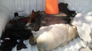 Detuvieron a dos ladrones que robaron corderos y cerdos vivos