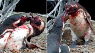 Pingüino volvió a su hogar y encontró a su pareja con otro: mirá la violenta reacción