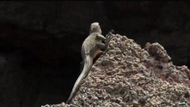 La iguana Messi el fenómeno viral de las redes sociales