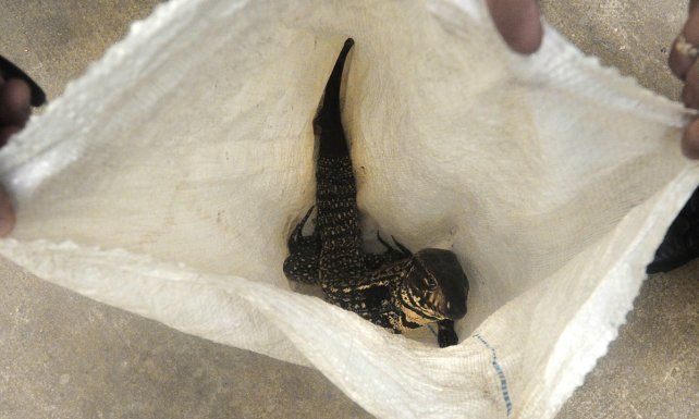 Rescataron a una Iguana en Barrio Candioti