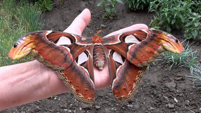 Nacen las mariposas más grandes del mundo