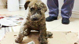La transformación del perro que fue bañado en pegamento