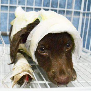 El es Chocolate, el cachorro víctima de un brutal maltrato animal que falleció luego de ser despellejado