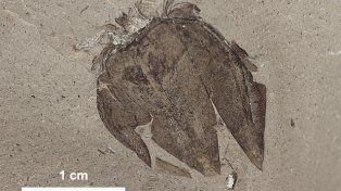 Descubren un tomate de 52 millones de años en Chubut