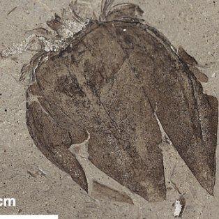 descubren un tomate de 52 millones de anos en chubut