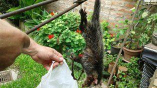 Denuncian la presencia de ratas y comadrejas en barrio René Favaloro