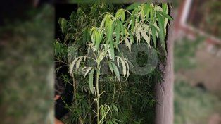 Detuvieron tres delincuentes que se tirotearon con la policía y les secuestraron plantas de marihuana