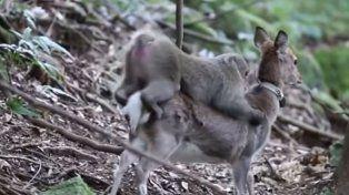 Un mono intentó tener sexo con un ciervo, y científicos japoneses investigaron por qué