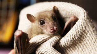 Aseguran que murciélagos vampiros han empezado a desarrollar el gusto por la sangre humana
