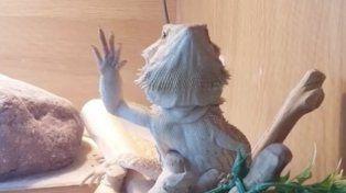 El camaleón que saluda a su dueño enamora a todos en la red