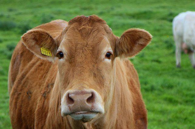 16 millones de estadounidenses creen que la leche chocolatada sale de vacas marrones