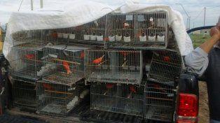 santo tome: demorado por transportar 100 aves de criadero para competir