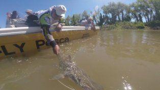 Protegen un inusual cardumen de surubíes detectado en el río Paraná