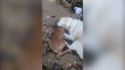 Perro salva a ciervo bebé que se estaba ahogando en Nueva York
