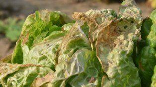 Las heladas de la semana pasada impactaron en la producción del cinturón verde santafesino