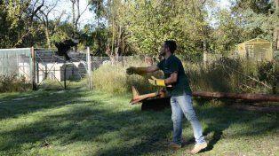 Liberación de carancho (Caracara plancus)