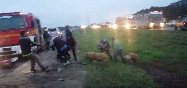 Impactante video: así saquearon un camión cargado con cerdos que volcó en la ruta