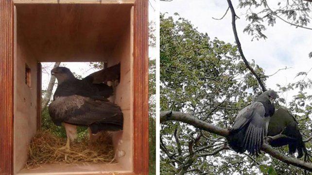 Liberaron un águila mora en las islas del noreste provincial