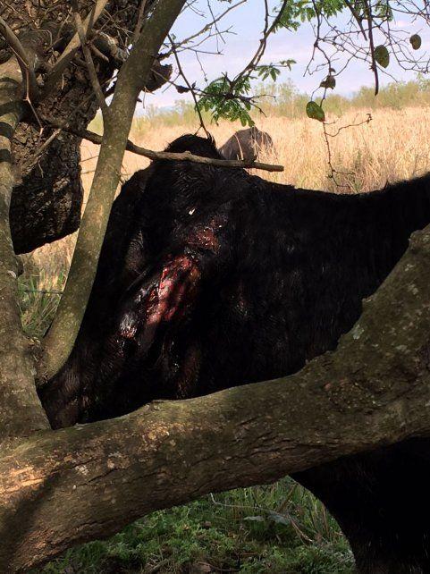 Muerden y matan: en el norte, los perros ya provocaron la muerte de más de 20 vacas