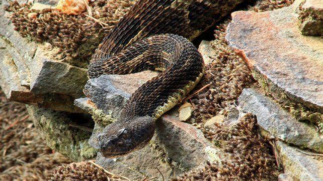 Se encontró con una serpiente de cascabel de dos cabezas en pleno trabajo