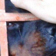 Fiscal ordenó matar a un perro rottweiler que atacó a dos nenas