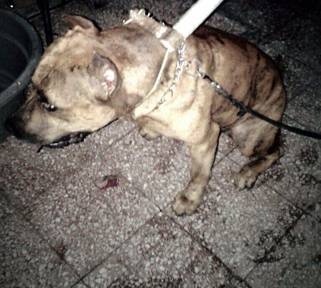 Un perro pitbull atacó a su dueño en su departamento de barrio Candioti
