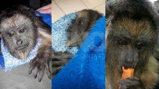 Rescataron a un mono carayá o aullador de una vivienda