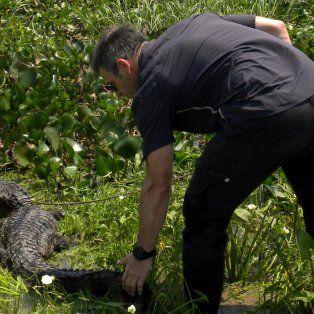 liberaron en reconquista a un yacare negro capturado en la laguna setubal