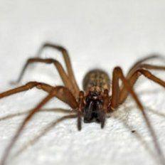 Una mujer policía murió por la picadura de una araña del rincón