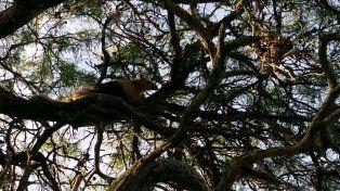Un santafesino encontró a un oso hormiguero frente a su casa