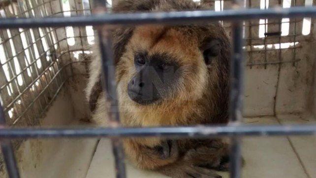 Rescatan un mono carayá de una vivienda de Vera