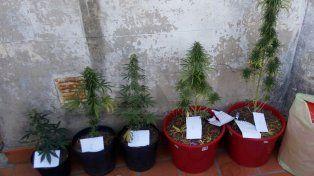 Cayó un joven que cultivaba plantas de marihuana en un departamento