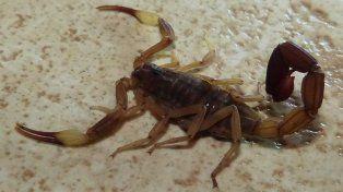 Especie. La tityus trivittatus es la que más se ve en la región de Santa Fe y la más peligrosa.