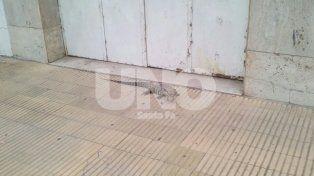 Sorpresa en el Bulevar: encontraron una iguana en la vereda