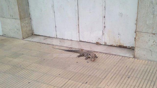 Expertos de la Granja Esmeralda explicaron qué tener en cuenta si se encuentra una iguana