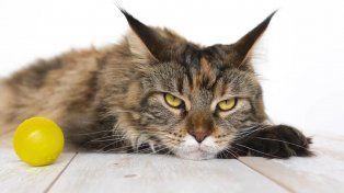 Indignación en España por el sacrificio de un gato al que le pusieron petardos en la boca