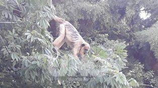 Lanzan un protocolo para atrapar al mono carayá de Villa California
