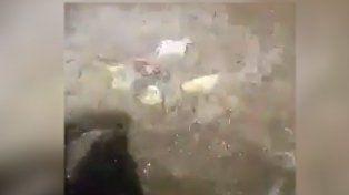 se viralizo un video de palometas en la costa santafesina