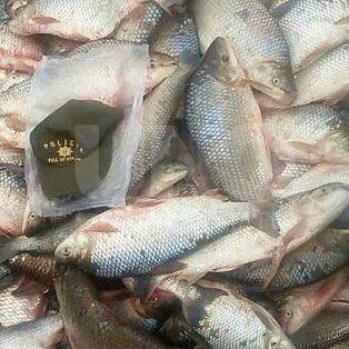 secuestraron a depredadores 2500 sabalos en arroyo leyes y 40 nutrias en san justo