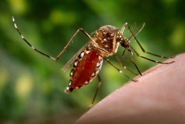 Científicos escoceses descubrieron una bacteria que bloquea el dengue y el zika