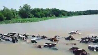 Con el agua al cuello: así trasladan el ganado debido a la crecida en Alejandra