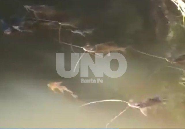Mortandad de peces: los análisis de agua de Villa Ocampo y Romang dieron negativos